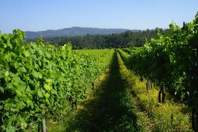 Vineyards in Minho Region