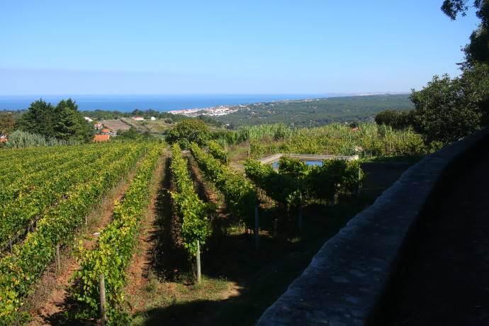 Vineyards in Colares