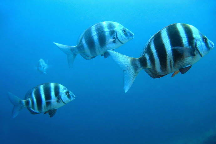 zebra_seabream_fish_67345756_vilainecrevette